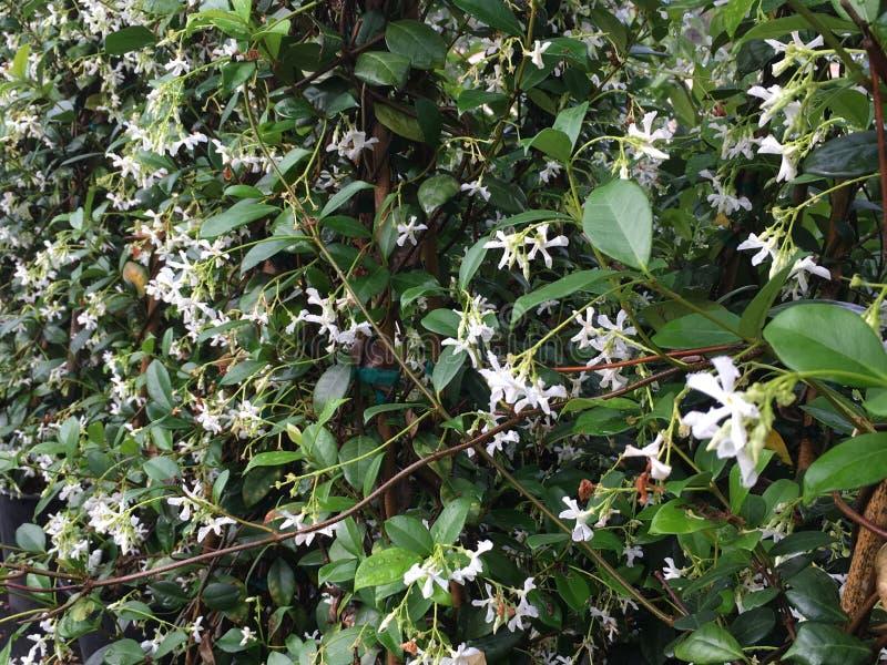 Πασσαλωμένο jasmine αστεριών στοκ εικόνα
