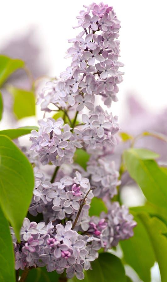πασχαλιά λουλουδιών στοκ εικόνες