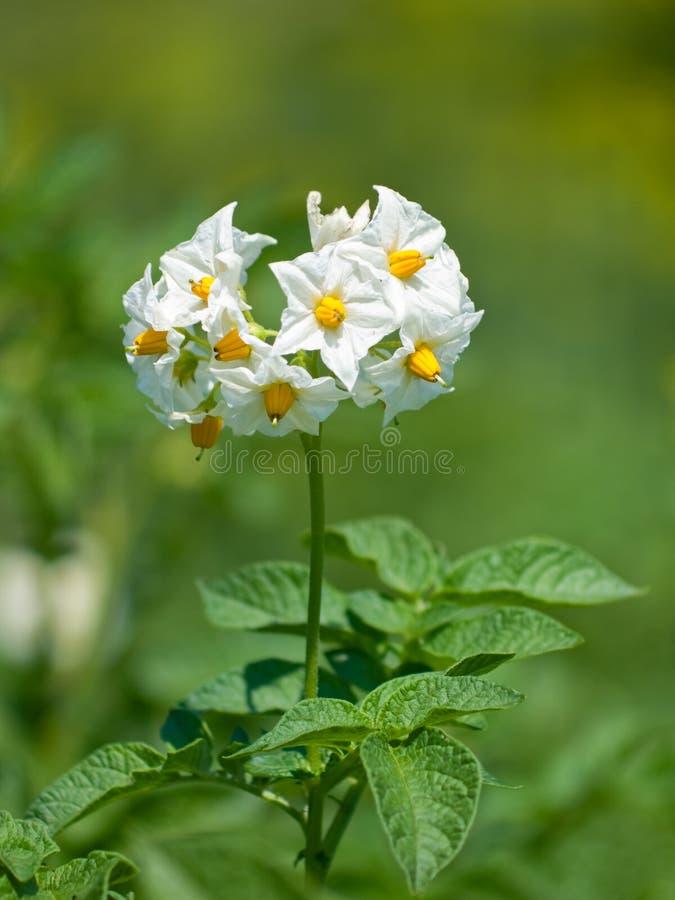 πατάτα λουλουδιών στοκ φωτογραφίες με δικαίωμα ελεύθερης χρήσης