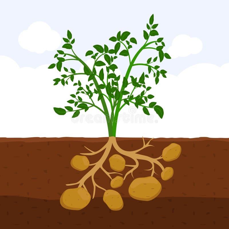 Πατάτα με τα φύλλα και τις ρίζες στο χώμα, φρέσκια οργανική ανάπτυξη φυτών φυτικών κήπων υπόγεια, επίπεδο διάνυσμα κινούμενων σχε απεικόνιση αποθεμάτων