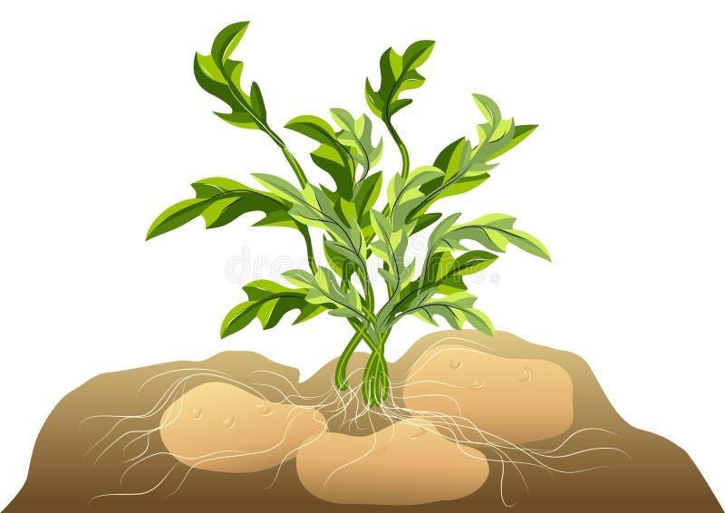 Πατάτα στο χώμα διανυσματική απεικόνιση