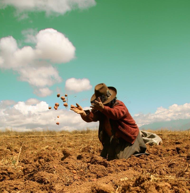 πατάτα συγκομιδών των Άνδε στοκ φωτογραφίες