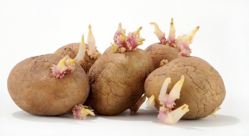 πατάτα στοκ φωτογραφίες