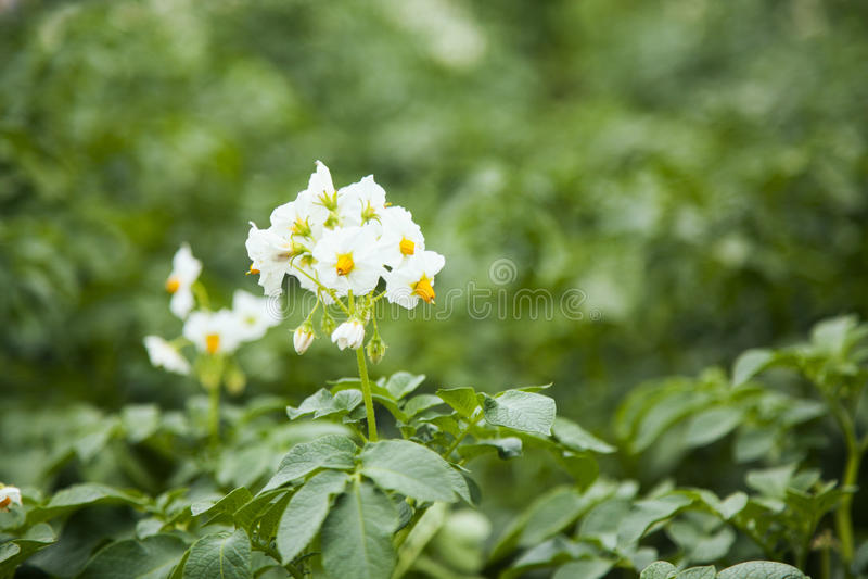 Πατάτες λουλουδιών στοκ φωτογραφία με δικαίωμα ελεύθερης χρήσης