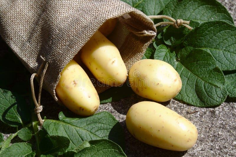 Πατάτες στα φύλλα γιούτας σάκων και πατατών στοκ εικόνες