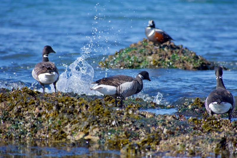 Παφλασμοί κυμάτων μπροστά από τρεις brant χήνες που στέκονται στην ακτή  στοκ φωτογραφία με δικαίωμα ελεύθερης χρήσης