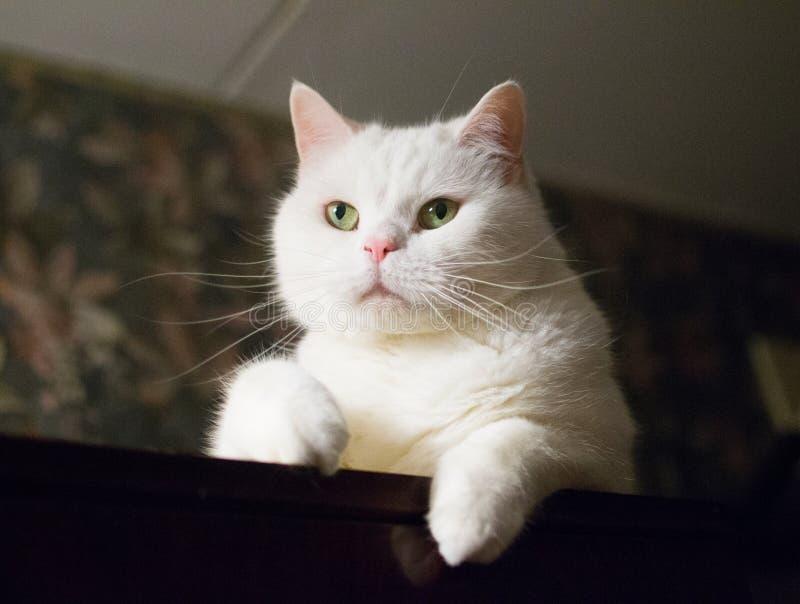 Παχιά άσπρη γάτα με τα πράσινα μάτια και τα στρογγυλά μάγουλα στοκ εικόνες