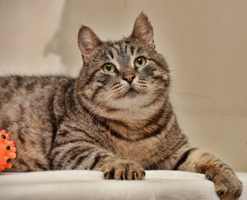 Παχιά τιγρέ γάτα στοκ φωτογραφία