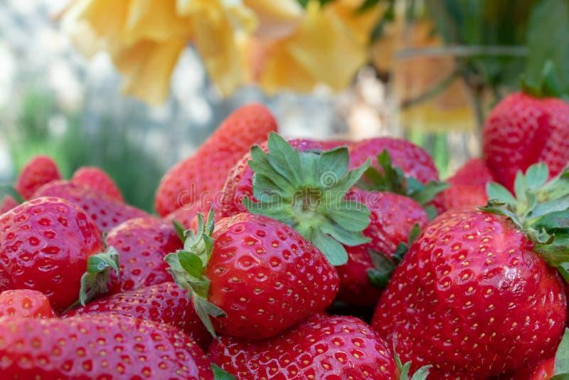 Παχουλές, μαζεμμένες με το χέρι φράουλες από το φυτικό κήπο  αγροτική ζωή στοκ φωτογραφία με δικαίωμα ελεύθερης χρήσης