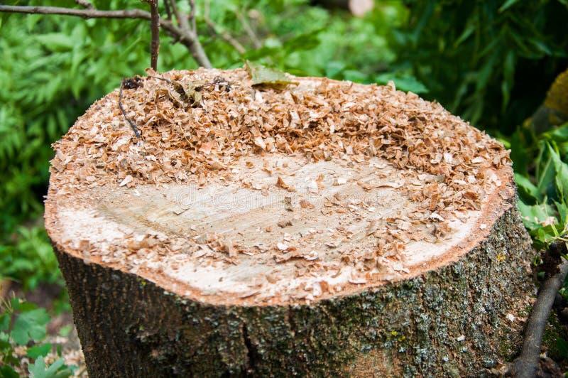 Παχύς κορμός δέντρων περικοπών r στοκ φωτογραφίες με δικαίωμα ελεύθερης χρήσης