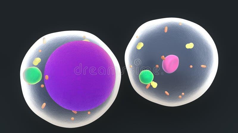 Παχύ κύτταρα ή Adipocytes ελεύθερη απεικόνιση δικαιώματος