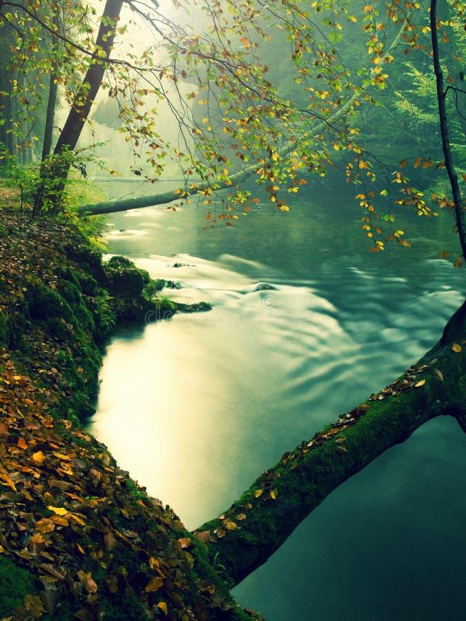 Παλαιά δέντρα οξιών επάνω από το σαφές νερό του ποταμού βουνών Οι μεγάλοι mossy λίθοι ψαμμίτη βρέθηκαν στο νερό Πρώτη στροφή φύλλ στοκ φωτογραφίες