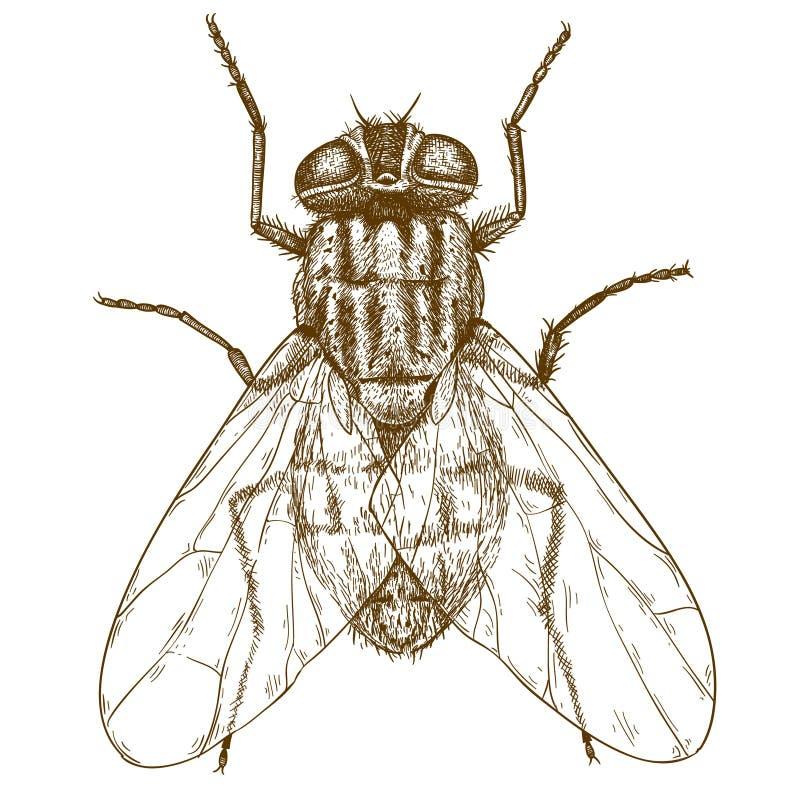 Παλαιά απεικόνιση χάραξης της μύγας ελεύθερη απεικόνιση δικαιώματος