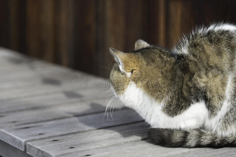 Παλαιά chubby γάτα στοκ φωτογραφία