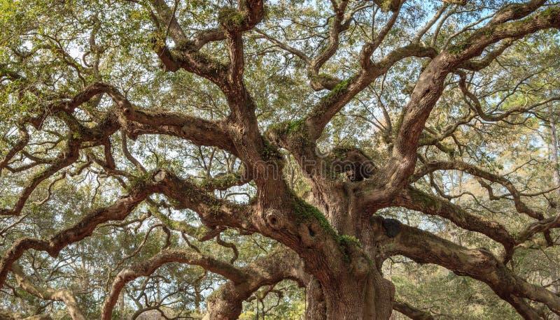 Παλαιοί στριμμένοι βαλανιδιά κλάδοι δέντρων στοκ φωτογραφίες