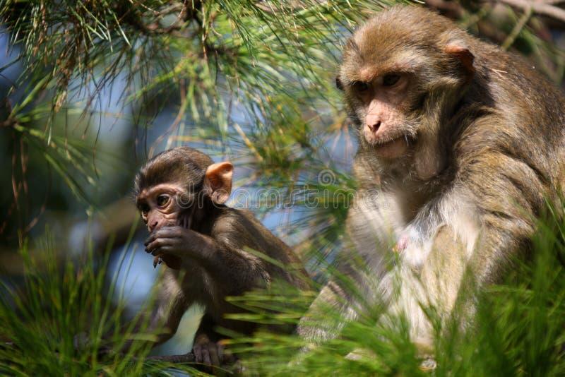 Παλαιός πίθηκος που φαίνεται πολύ προστατευτικός του πιθήκου μωρών στοκ φωτογραφίες με δικαίωμα ελεύθερης χρήσης