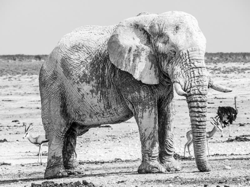 Παλαιός τεράστιος αφρικανικός ελέφαντας που στέκεται στη στεριά του εθνικού πάρκου Etosha, Ναμίμπια, Αφρική στοκ εικόνες
