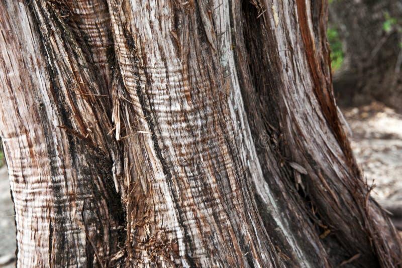 παλαιό δέντρο σύστασης λευκών φλοιών στοκ φωτογραφία