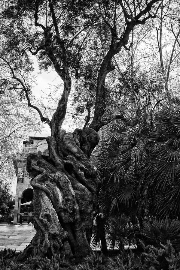 παλαιό δέντρο στοκ φωτογραφίες με δικαίωμα ελεύθερης χρήσης