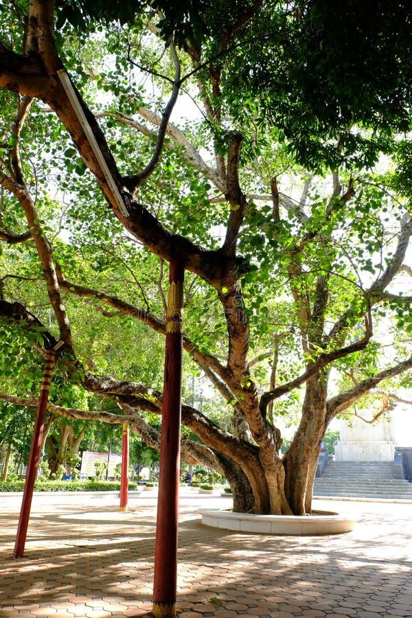 Παλαιό δέντρο Bohhi σε Suphanburi - στοκ εικόνες