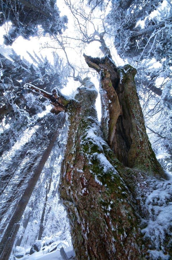 Παλαιό δέντρο mapple στοκ εικόνα