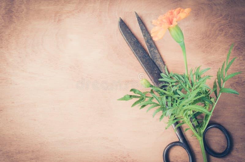 Παλαιό εκλεκτής ποιότητας ψαλίδι, marigold λουλούδι και burlap στο ξύλινο υπόβαθρο στοκ εικόνα με δικαίωμα ελεύθερης χρήσης