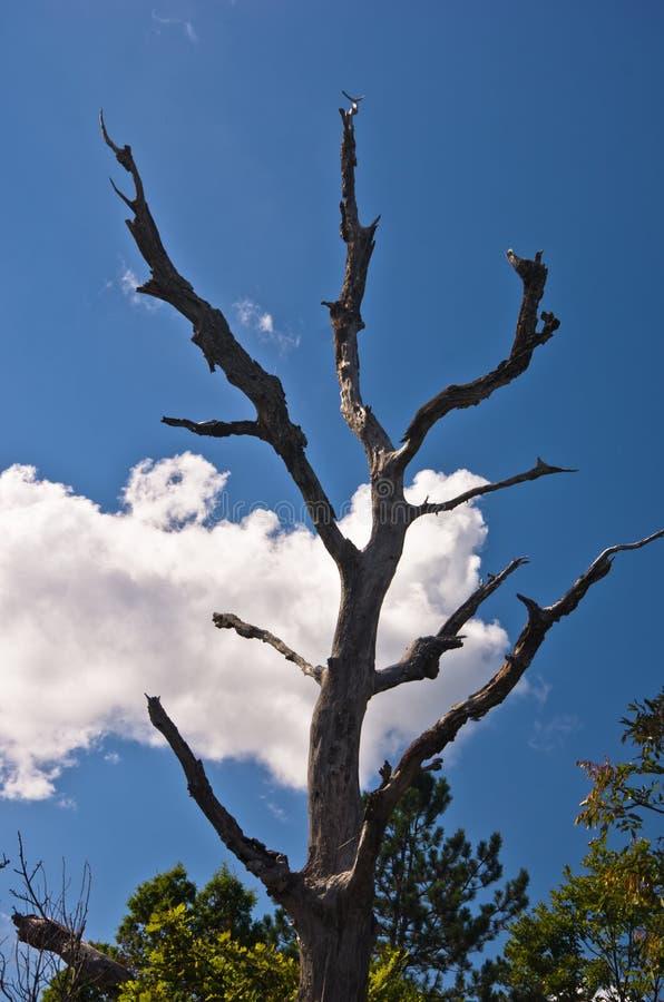 Παλαιό νεκρό δέντρο στο βουνό Troglav ενάντια στο μπλε ουρανό και άσπρα σύννεφα τα τέλη του καλοκαιριού στοκ εικόνα με δικαίωμα ελεύθερης χρήσης