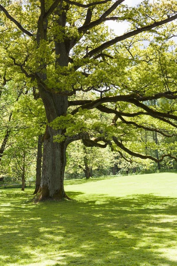 Παλαιό δρύινο δέντρο στοκ εικόνα με δικαίωμα ελεύθερης χρήσης