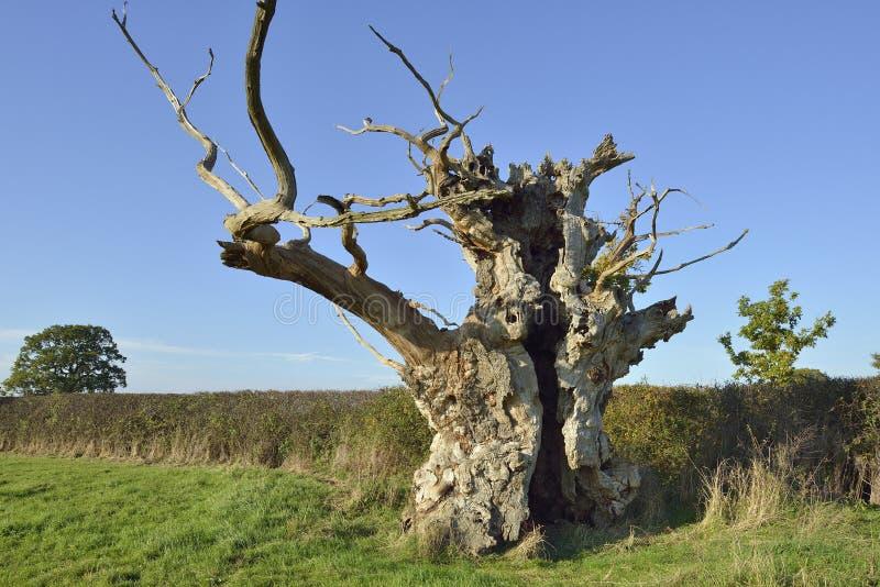 Παλαιό δρύινο δέντρο στοκ εικόνες με δικαίωμα ελεύθερης χρήσης