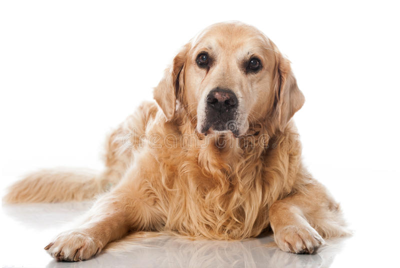 Παλαιό σκυλί στοκ εικόνα με δικαίωμα ελεύθερης χρήσης