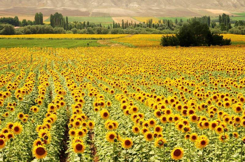πεδία κίτρινα στοκ εικόνα με δικαίωμα ελεύθερης χρήσης