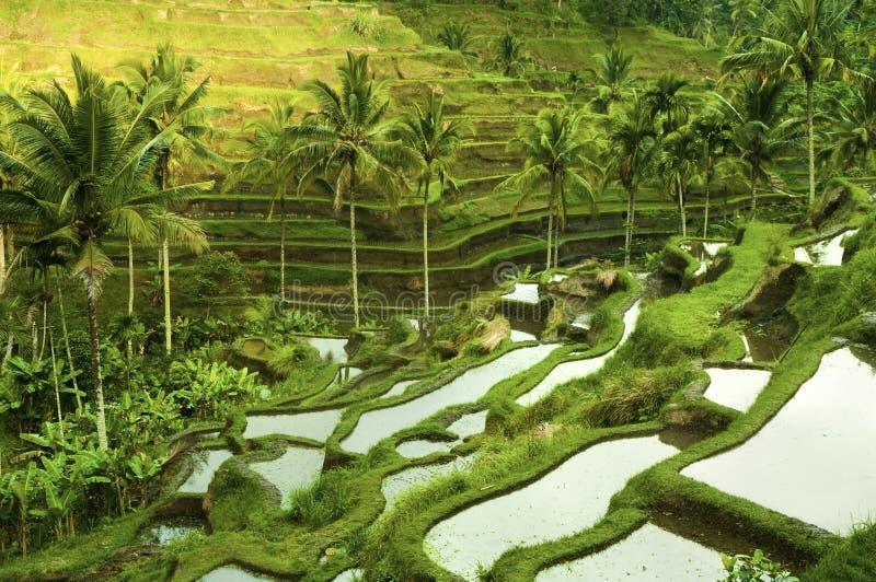 Πεδία ρυζιού πεζουλιών στοκ εικόνα με δικαίωμα ελεύθερης χρήσης