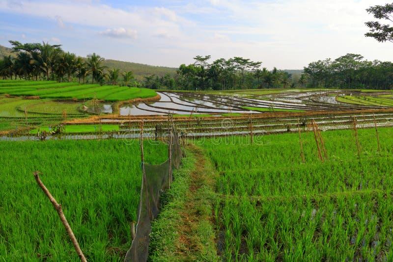 Πεδία ρυζιού στοκ εικόνες με δικαίωμα ελεύθερης χρήσης