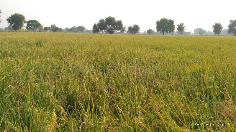 Πεδία ρυζιού : στοκ φωτογραφία με δικαίωμα ελεύθερης χρήσης