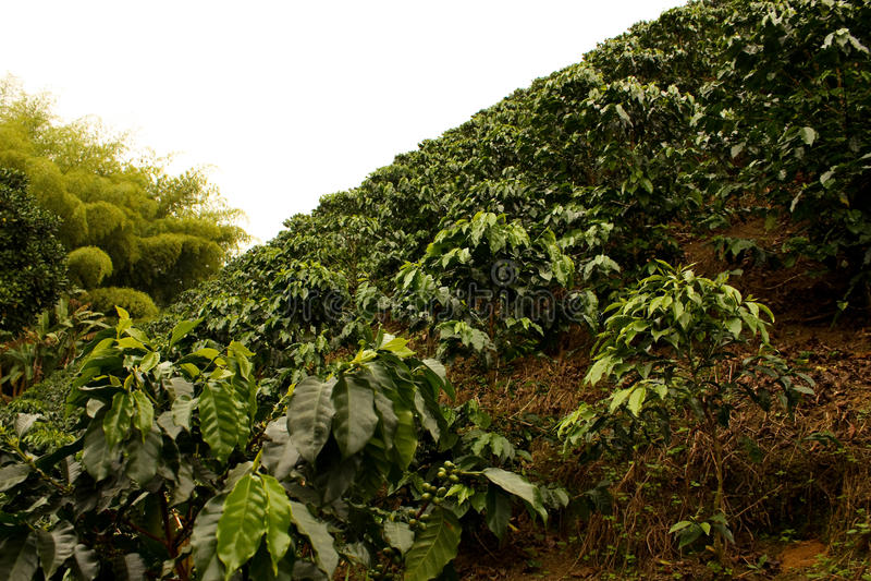 πεδία της Κολομβίας καφέ στοκ φωτογραφία με δικαίωμα ελεύθερης χρήσης