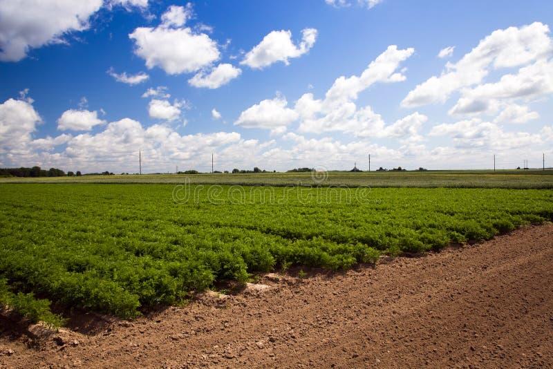 Download πεδίο καρότων στοκ εικόνα. εικόνα από κοπή, ομάδα, γεωργίας - 22782607