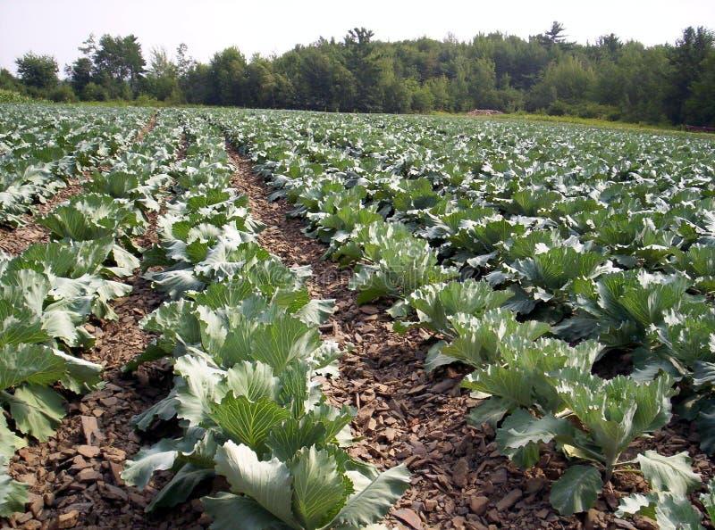 πεδίο λάχανων χορτοφάγο στοκ φωτογραφίες