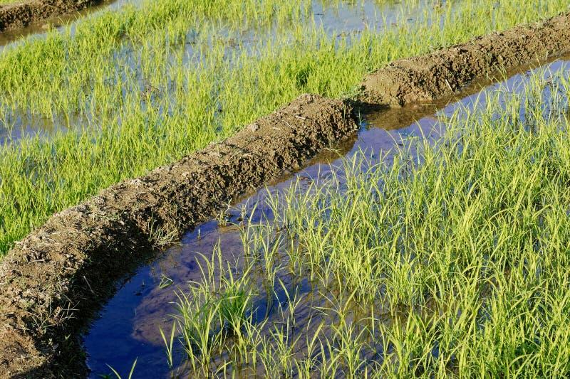 Πεδίο ορυζώνα ρυζιού στοκ φωτογραφίες με δικαίωμα ελεύθερης χρήσης