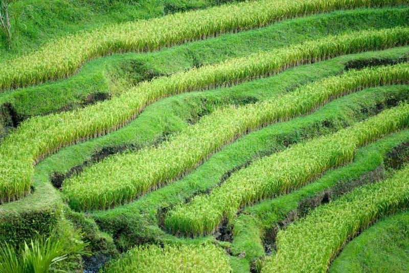 Πεδίο πεζουλιών ρυζιού, Ubud, Μπαλί, Ινδονησία. στοκ φωτογραφία