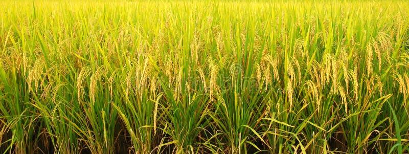 Πεδίο ρυζιού στοκ εικόνες