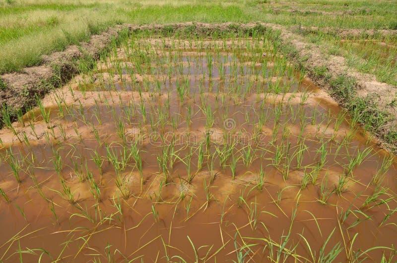 Πεδίο του ρυζιού στοκ εικόνα με δικαίωμα ελεύθερης χρήσης