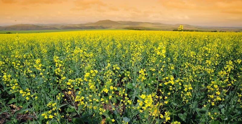Πεδίο των λουλουδιών λάχανων στοκ φωτογραφία με δικαίωμα ελεύθερης χρήσης