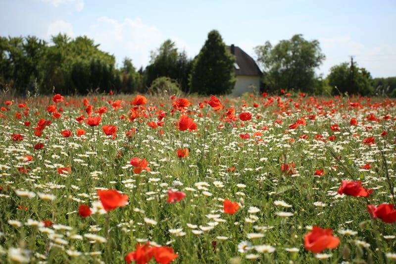 Πεδιάδα των φωτεινών κόκκινων παπαρουνών και των chamomile λουλουδιών στοκ φωτογραφίες