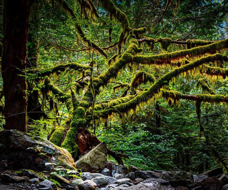 Πεζοπορώ που οδηγεί στο παλαιό δάσος αύξησης κατά τη διάρκεια της χρυσής ώρας στοκ φωτογραφία με δικαίωμα ελεύθερης χρήσης