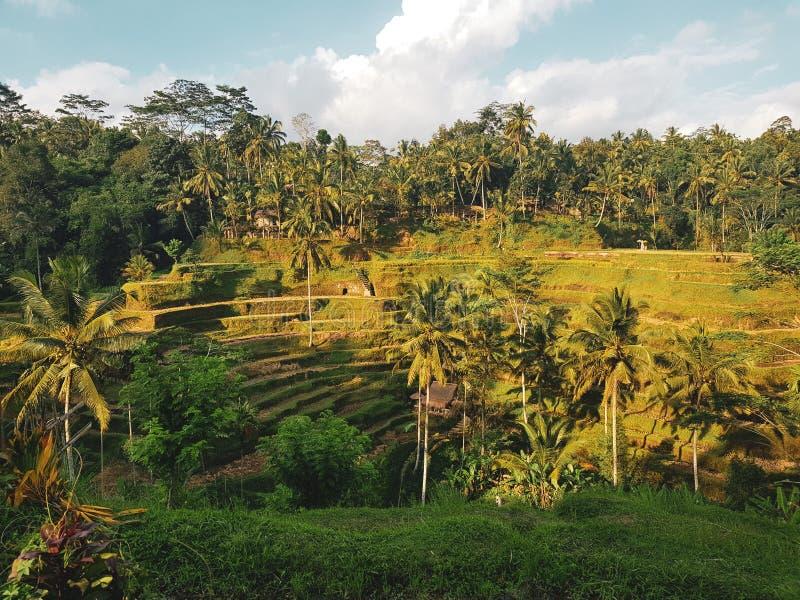 Πεζούλια ρυζιού στο νησί του Μπαλί στοκ εικόνες