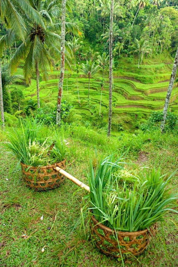 πεζούλι ρυζιού πεδίων το& στοκ εικόνες