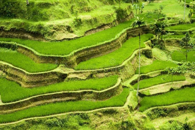 πεζούλι ρυζιού του Μπαλί στοκ φωτογραφία με δικαίωμα ελεύθερης χρήσης