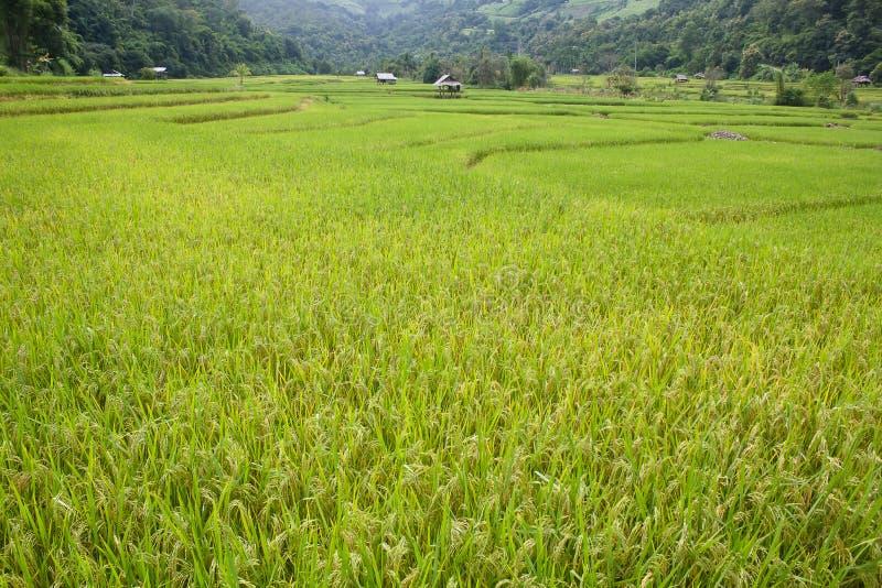 Πεζούλι ρυζιού της Νίκαιας στοκ εικόνες