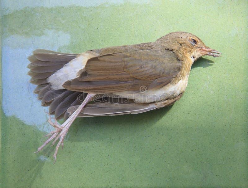 Πεθαμένο πουλί σε πράσινο για τη χρήση για την καταστροφή φύσης και το αναφερόμενο στα πτηνά influenz στοκ φωτογραφία
