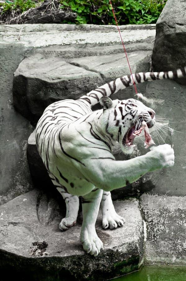 Πεινασμένη άσπρη τίγρη στοκ φωτογραφία με δικαίωμα ελεύθερης χρήσης